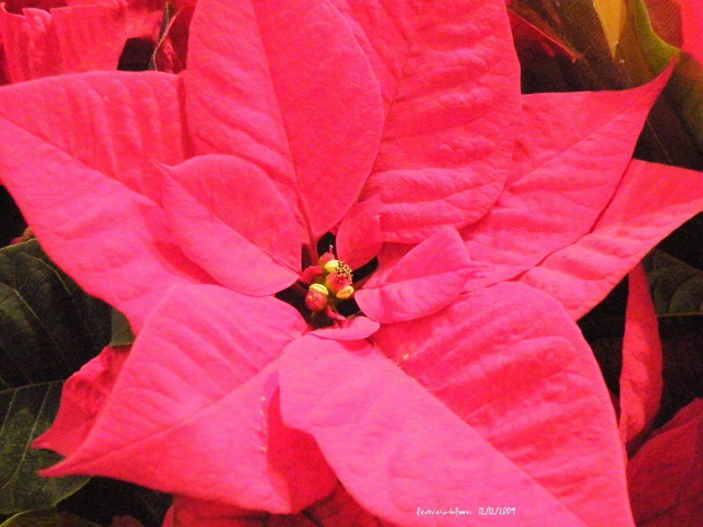Poinsettia bracts
