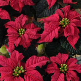 The Poinsettia – Does that iconic festive bract defeat you?