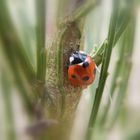 The ladybird survey and the approaching Harlequin Invasion