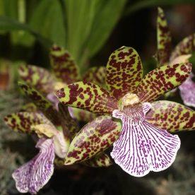 Zygopetalum 'Lousiendorf' orchid