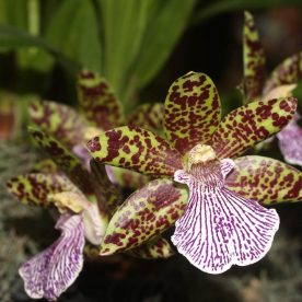 Tips on how to care for a Zygopetalum Orchid at home