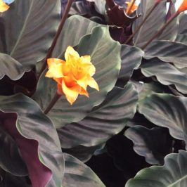 Calathea crocata Tassmania Blooms – Eternal Flame