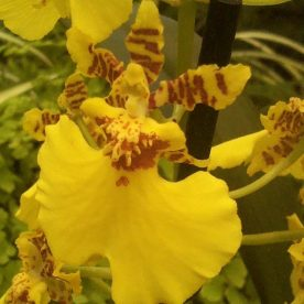 this is an image of a yellow dancing lady orchid - oncidium
