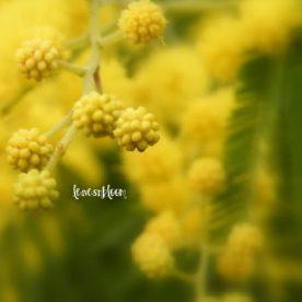 Flower Pom Poms from Acacia dealbata – The Mimosa Tree