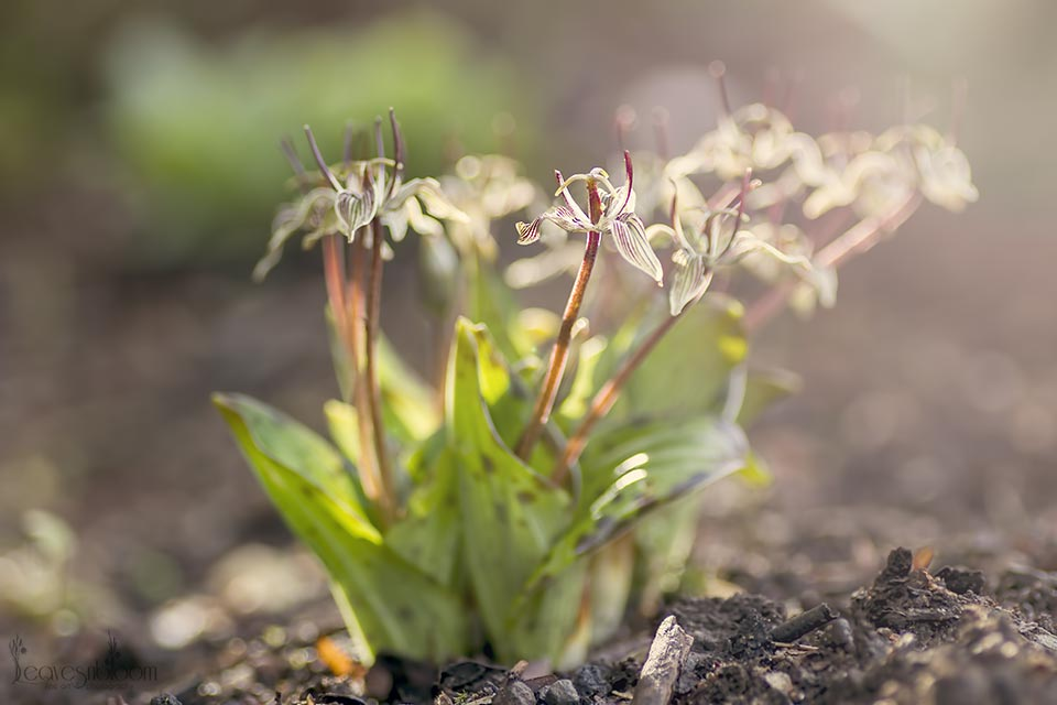 Scoliopus bigelowii | Oregon Fetid Adder's Tongue