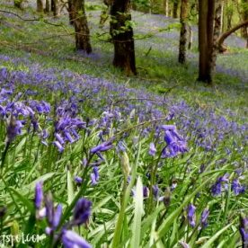 Wading through a Sea of Perthshire Bluebells