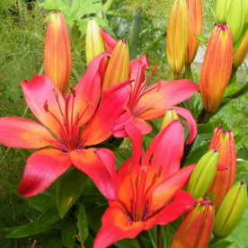 Red Hot and Firey Summer Blooms