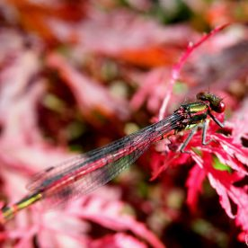 The Red Damselfly Visit : Pyrrhosoma nymphula