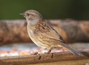 Squatters Rights for Dunnocks