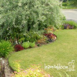 My Silver Weeping Pear Tree Border