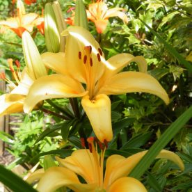 Lily Flowers:The Epitome of Elegance in July