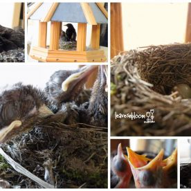 Squatters Rights –  Blackbird  Nesting Watch