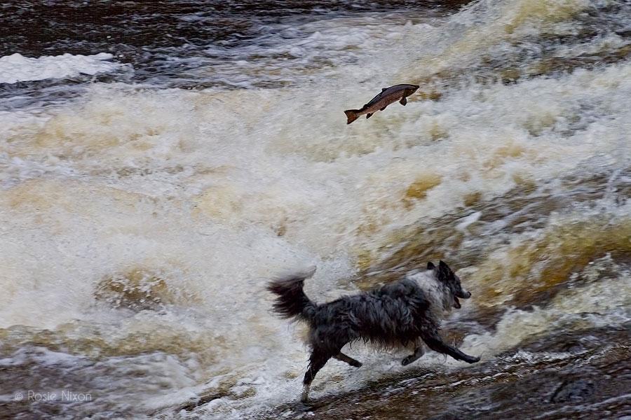 A dog barking as perthshire salmon leap