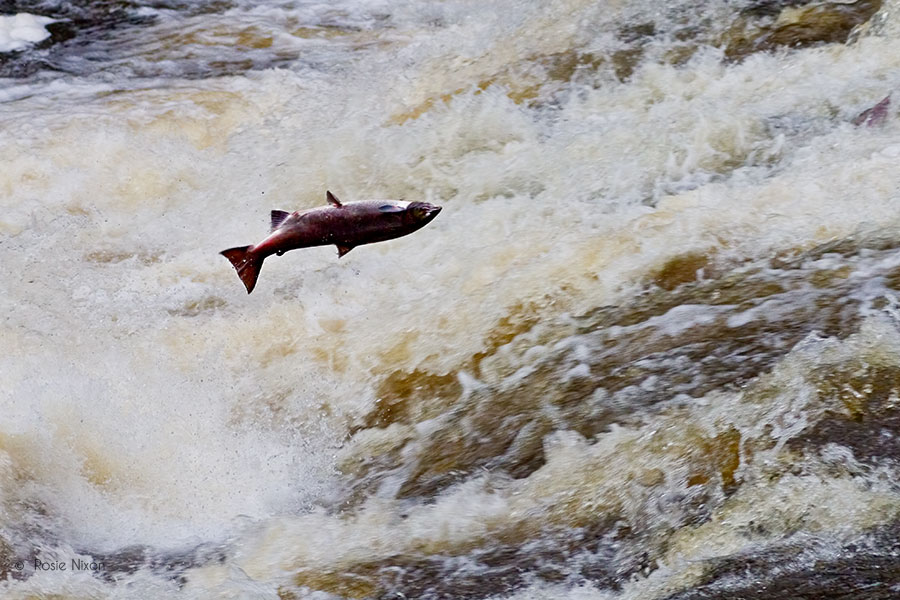 perthshire salmon leap in the air