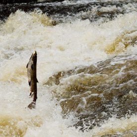The Wild Perthshire Salmon Leap
