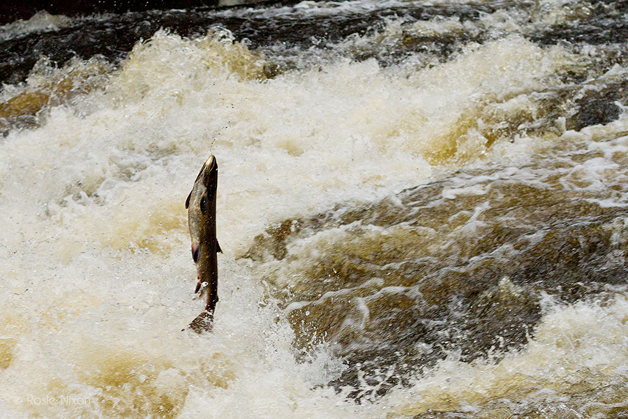 Perthshire salmon leap vertically out of the water