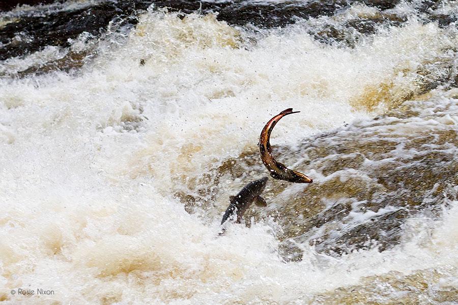 two perthshire salmon leap