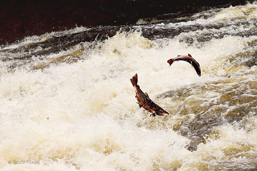 two Perthshire salmon leap in the air