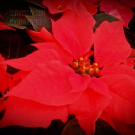 Care Tips for Poinsettias