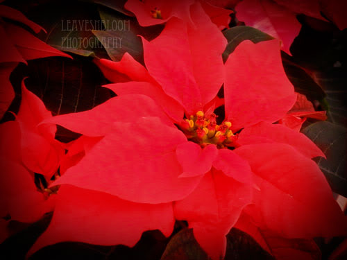 Care tips for poinsettias houseplant