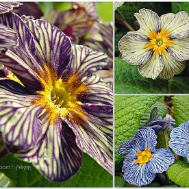 Primrose Greensleeves
