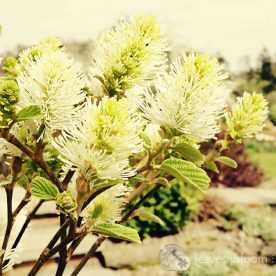 "Dear Mr Fothergilla gardenii ""Blue Shadow"""