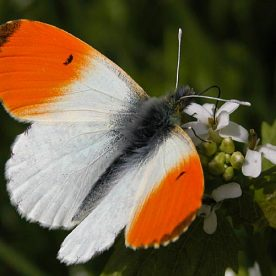 Anthocharis cardamines Butterfly