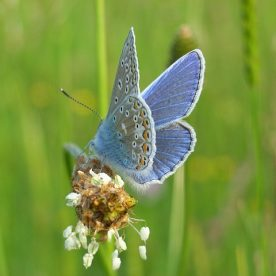 UK Native Butterflies in Decline