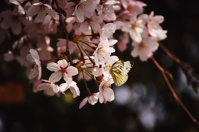a butterfly drinking nectar from a cherry blossom