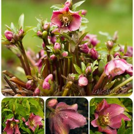 Lenten Rose – long lasting colour