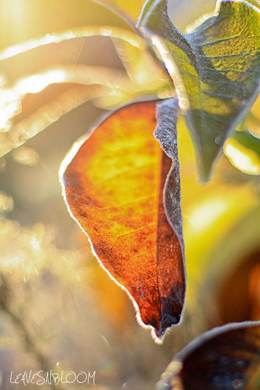frosty magnolia