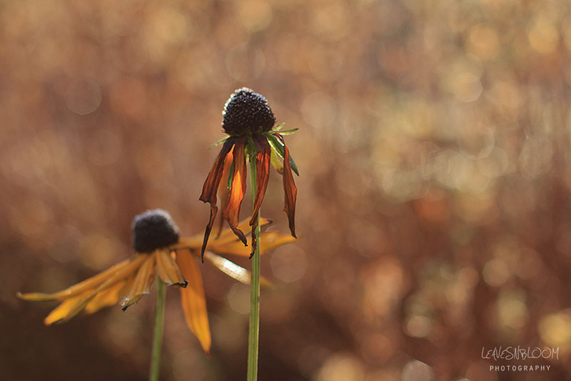 frozen rudbeckia flowers decaying