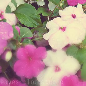 Impatiens Downy Mildew