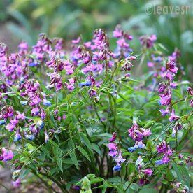 Spring peas – Lathyrus vernus