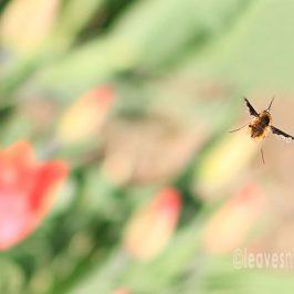 The Bee-Fly Aerodynamics