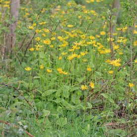 Doronicum pardalianches The Giant Leopards Bane