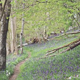Bluebell Woods Dalcrue