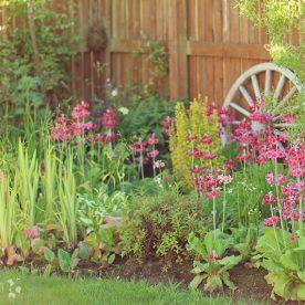 Primula japonica Millers Crimson