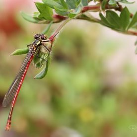The Large Red Damselfly