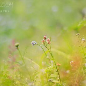 dreamy bokeh - Perthshire wild flowers