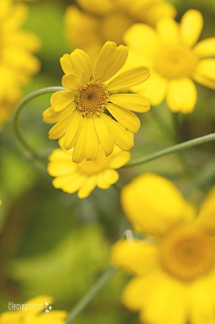 Anthemis tinctoria 'Kelwayi' blooms
