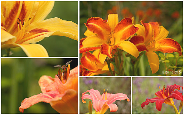 Hemerocallis flowers in bloom in August