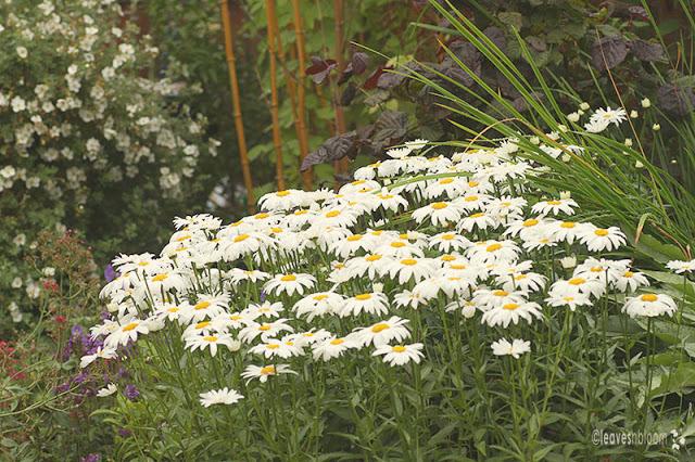 Leucanthemum | Shasta Daisy flowers