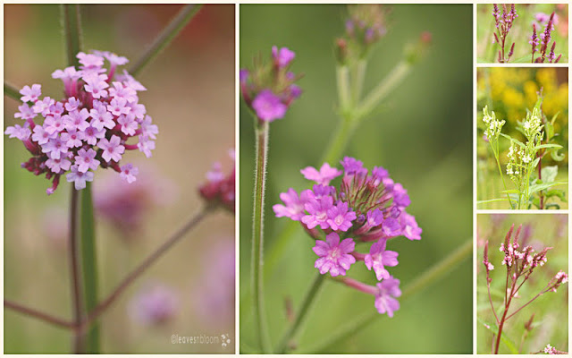 Various verbena flowers