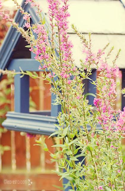 purplish pink | Lythrum salicaria