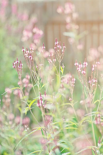 pink spires | Verbena hastata