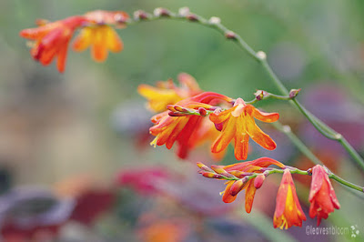 Orange | Crocosmia blooms alongside Cercis canadensis 'Forest Pansy'