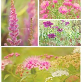 what's in bloom in September pink and purple shades
