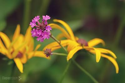 purple Verbena ridiga alongside yellow daisy Rudbeckia fulgida 'Goldstrum'