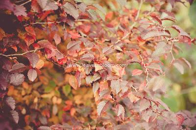 Prunus incisa 'Kojo-no-mai ' H5